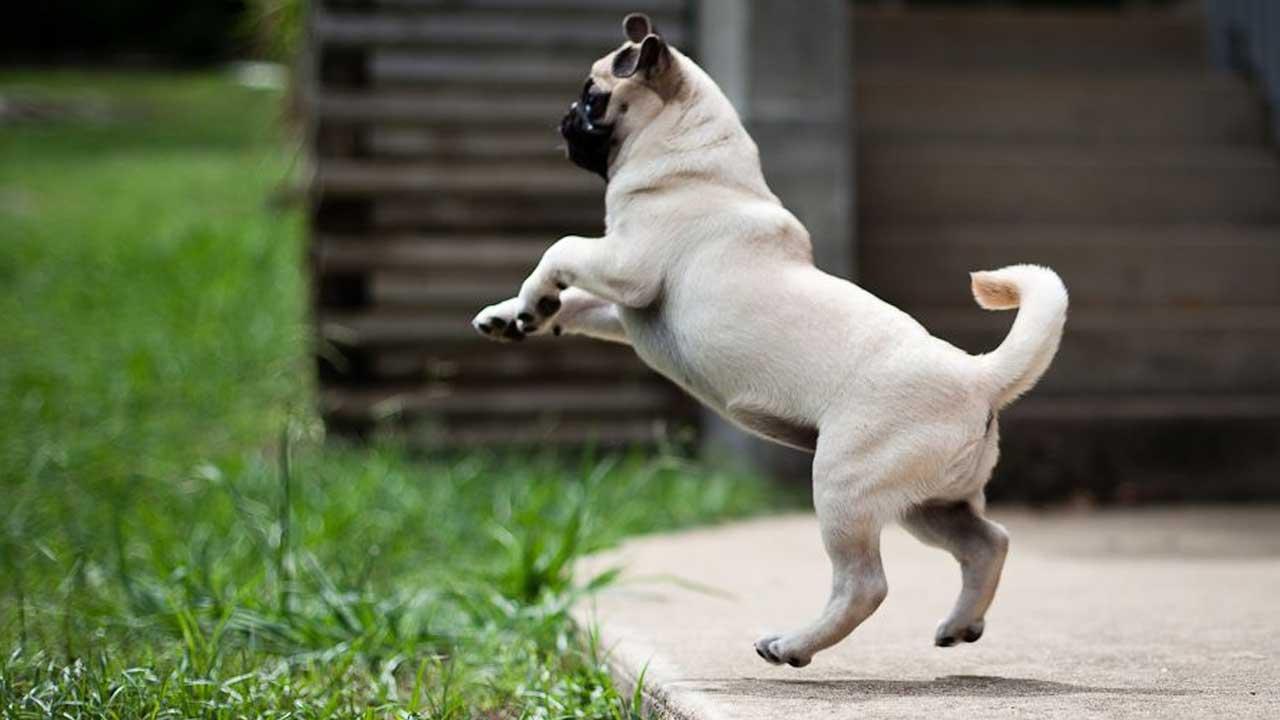 Ensine seu cachorro a não pular nas pessoas